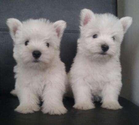 Cachorros West Highland White o Westy