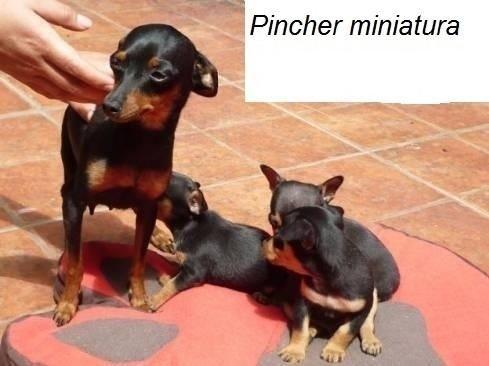 Lindos Pinscher mini toy