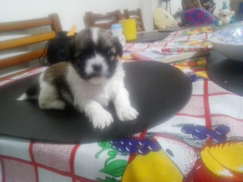 <strong>perro</strong>s Shih-tzu