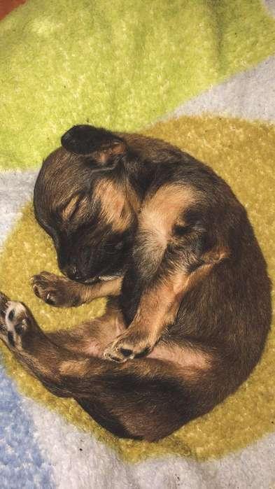 Cachorrita Jack Russell Terrier