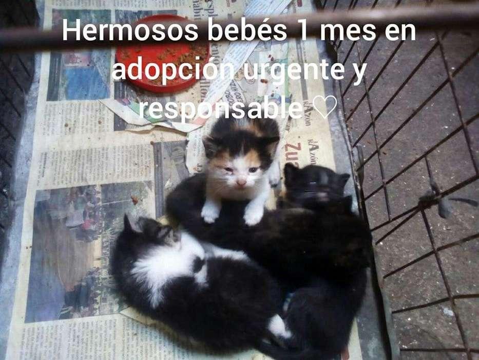 Hermosos gatitos en adopción responsable