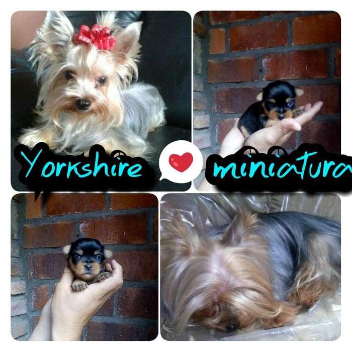 yorkshire 3 hembritas