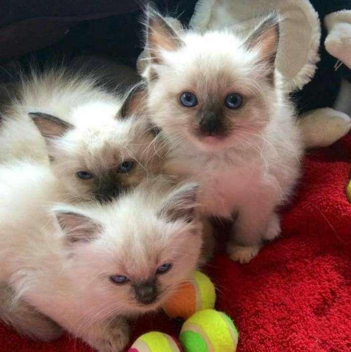 Espectaculares Gatos Ragdoll
