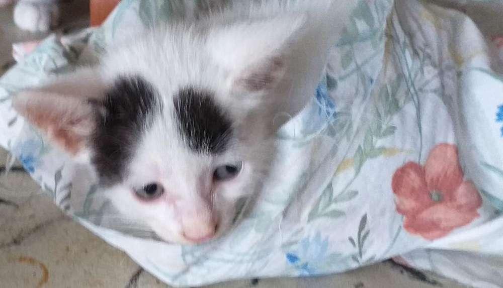 en Adopción Gatico de Un Mes Macho