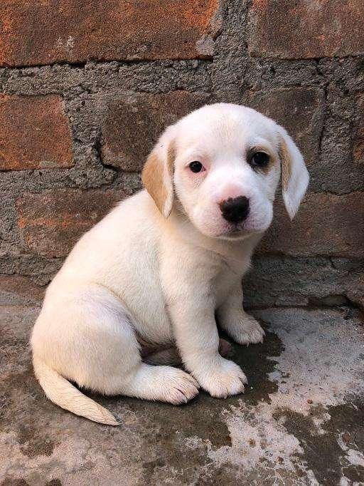 Se vende cachorros y madre beagle