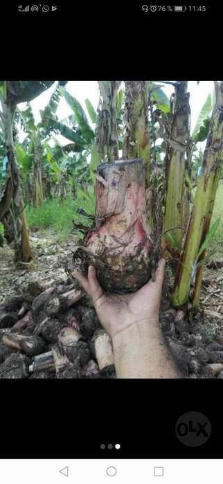 Venta de Colino de Platano Y Banano