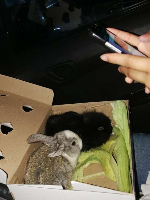 Vendo Conejo Negro Cabeza de Leon