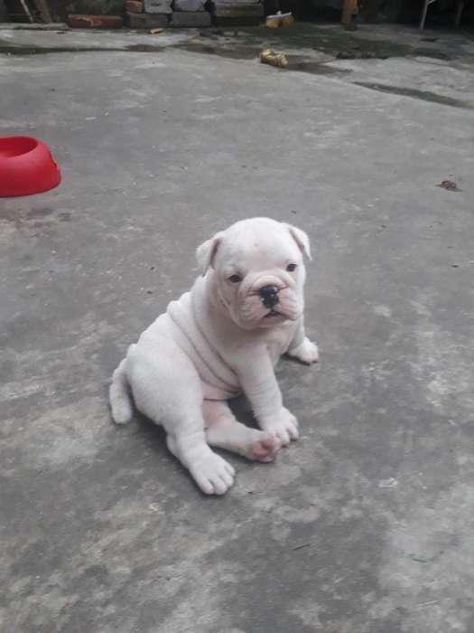 Vendo Cachorra Bulldog