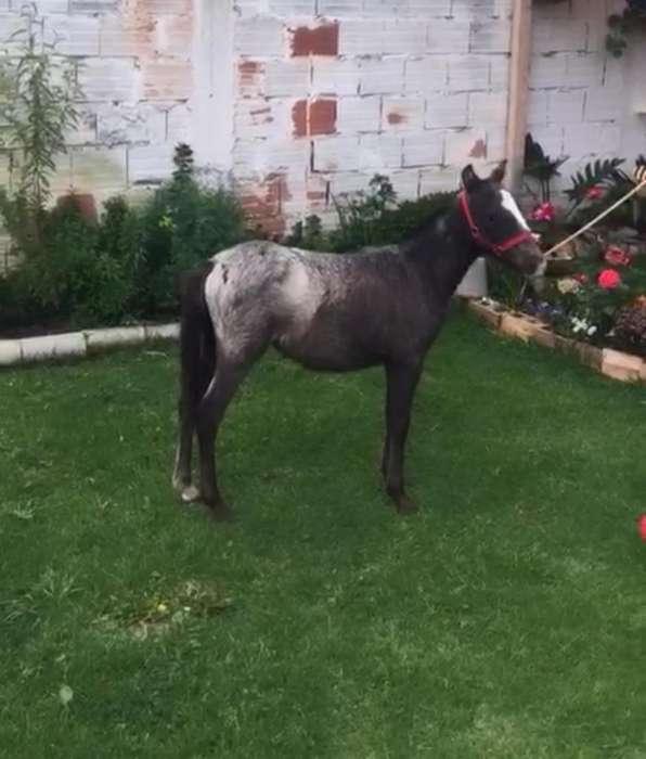 Pony macho appaloosa