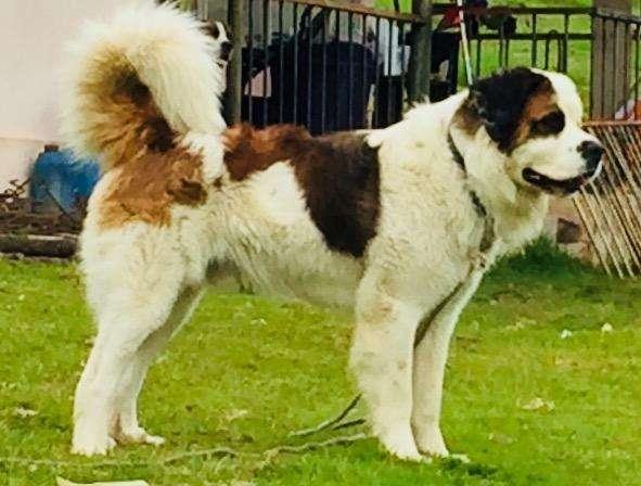 <strong>cachorro</strong>s San Bernardo