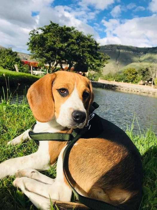 Martín Busca Novia Beagle