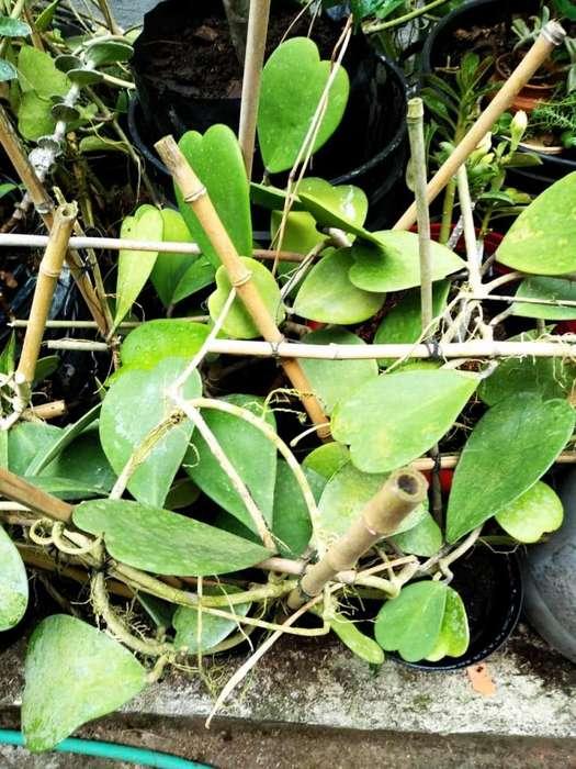 Flor de Cera Hoya kerrii