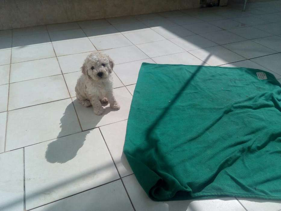 Vendo <strong>cachorro</strong>s Poodle
