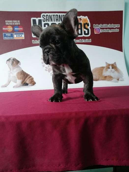 Bulldog Francés de Buena Genética