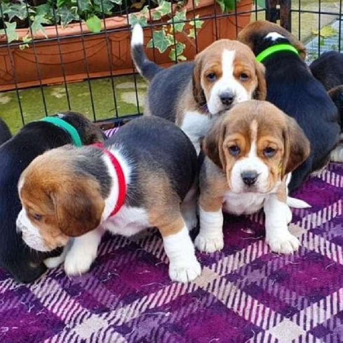 <strong>beagle</strong> cachorros 1566709347