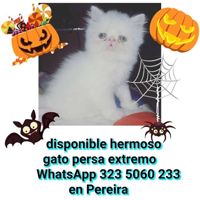 Gatos Persas Extremos