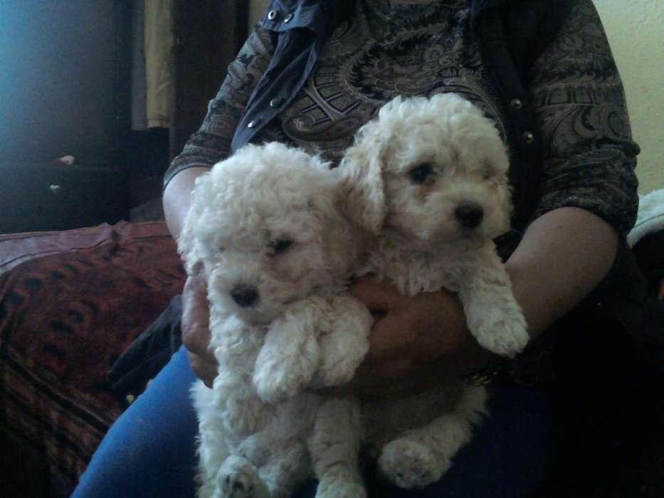Hermosas Cachorritas French Poodles