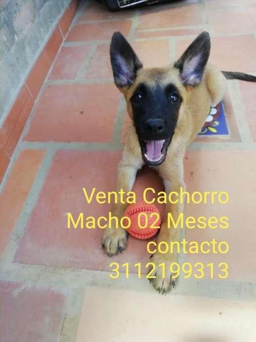 Venta <strong>cachorro</strong>s caninos Pastor Belga Malinois