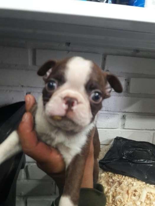 Cachorros Boxton <strong>terrier</strong>