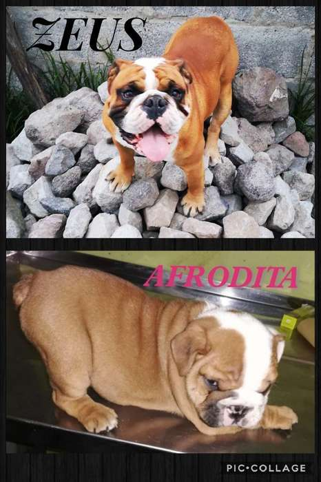 Hermosa Bulldog Inglés
