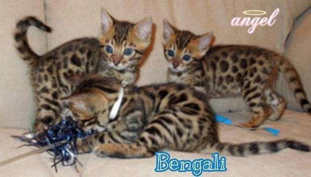 Excelentes Gatos Bengali Raza Hermosa Cachorros