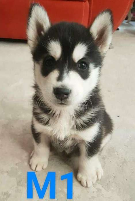 independientes <strong>cachorro</strong> husky hermosa compañia