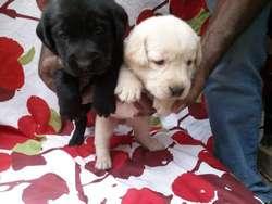 PRECIOSOS CACHORROS Westy, Yorkshire, Bull Terrier, Golden Retriever RAZA PURA DESDE