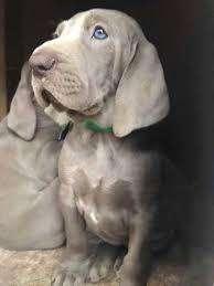 perros venta de cachorros Weimar