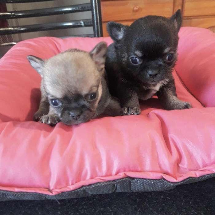 Chihuahuas Machos Mini