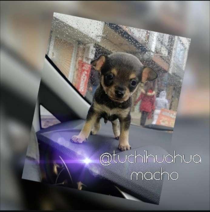 For Sale!!!chihuahua Macho
