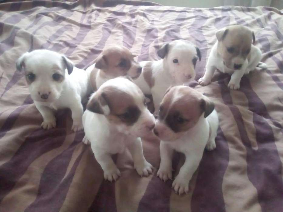 LINDOS CACHORROS JACK RUSSELL TERRIER