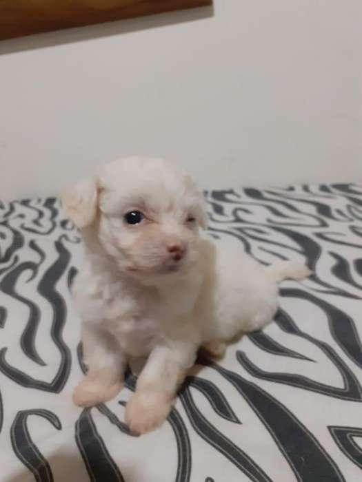 lindos mini toy french poodle