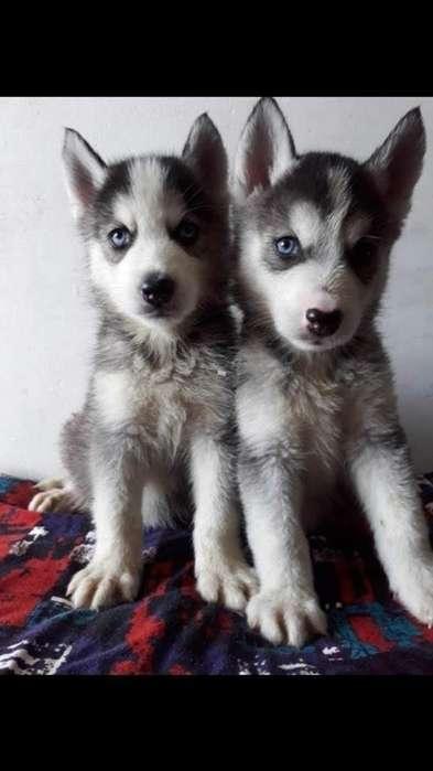 Venta de Cachorritos Lobos Siberianos