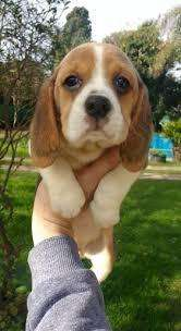 linda beagle para entrega inmediata