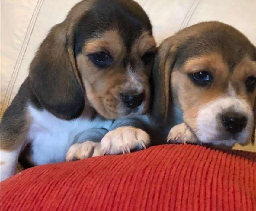 Fantástico Beagle
