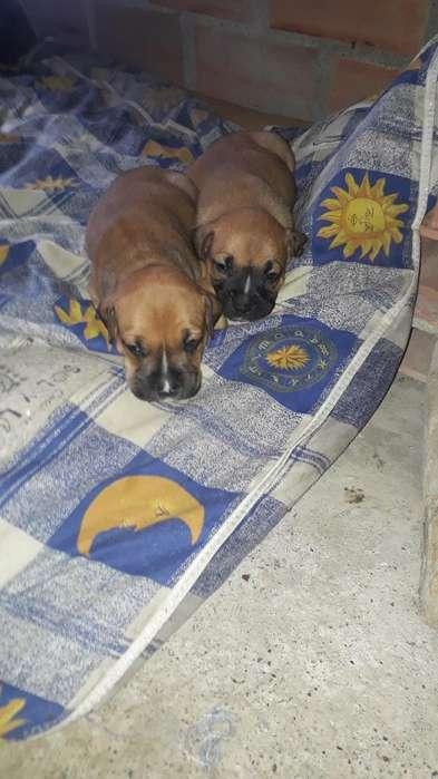 Ultimos Cachorros <strong>boxer</strong> Al 3172382583