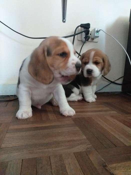 Hermosos <strong>beagle</strong>s Padres con Pedigree
