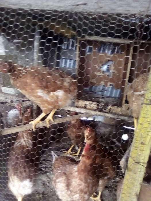 Pollas a Punto de Poner 17 Semanas