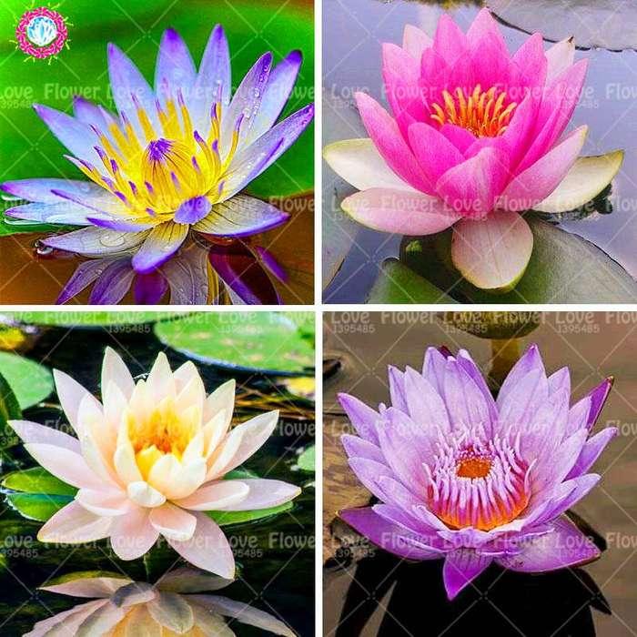 Semillas De Flor De Loto Por 20 Unidades