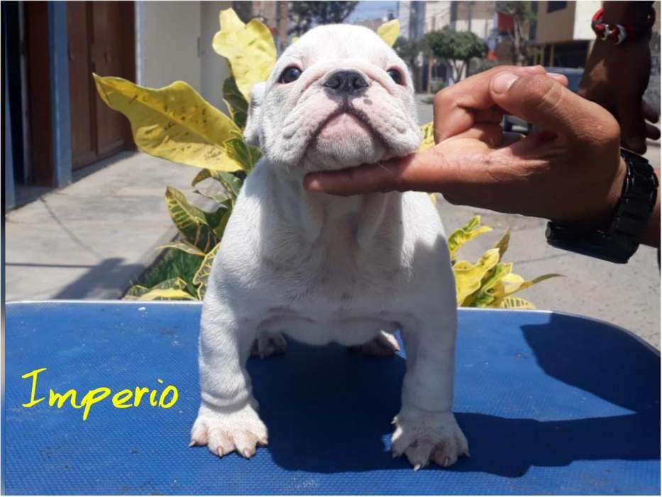 Cachorros Bulldog Ingles con Pedigre