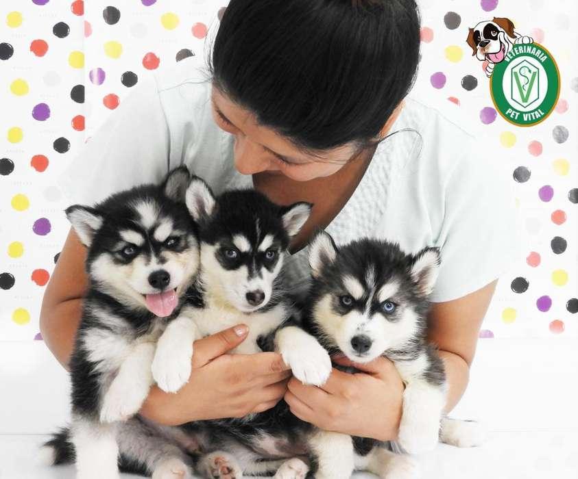 Hermosos cachorros Husky Siberiano en Pet Vital !!