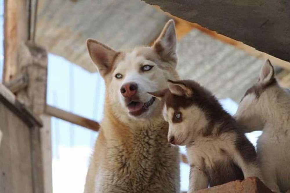 Se Vende <strong>cachorro</strong> Husky Siberianos