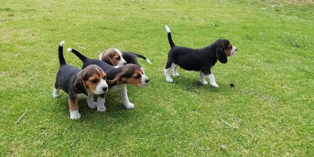 <strong>beagle</strong>s Hermosos