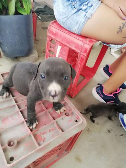 Américan Pitbull <strong>terrier</strong>