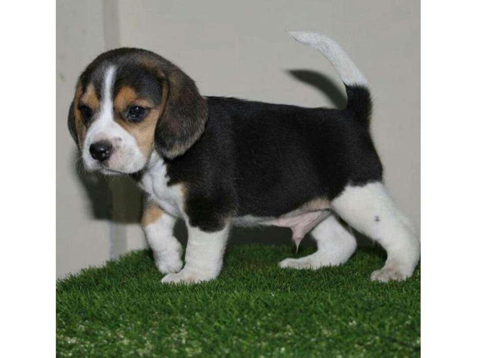 <strong>beagle</strong> Tierno Canino Bellisimos