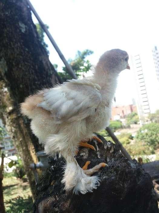 Pollos Conchinchinos