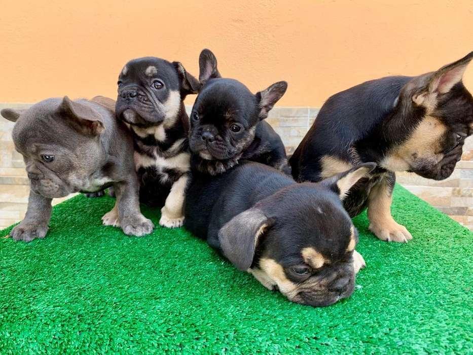 <strong>bulldog</strong> Francés Black And Tan Y Gen Blue