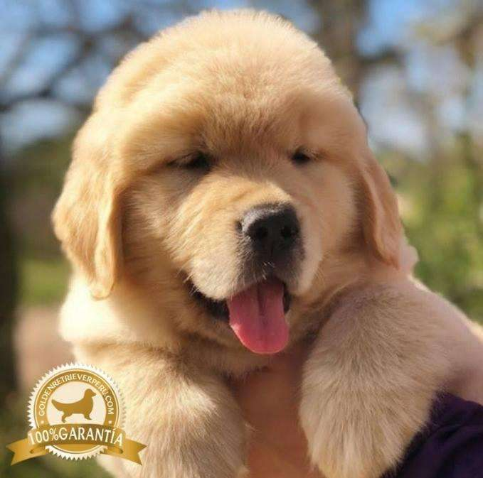 CACHORROS GOLDEN RETRIEVER PERU EXCLUSIVOS GARANTIA