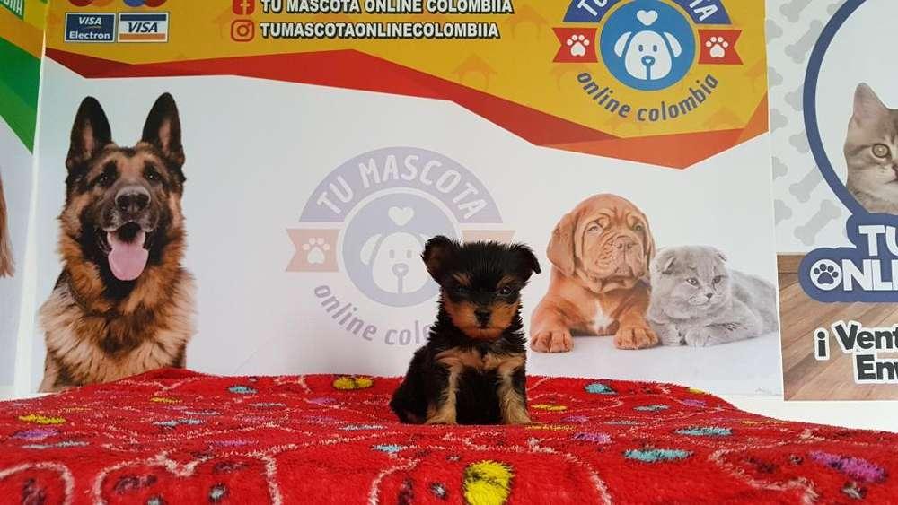 Bellisimos Yorkshire Tacita Terrier Herm