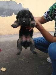 Cachorros Pastor Aleman Puros. Hermosos